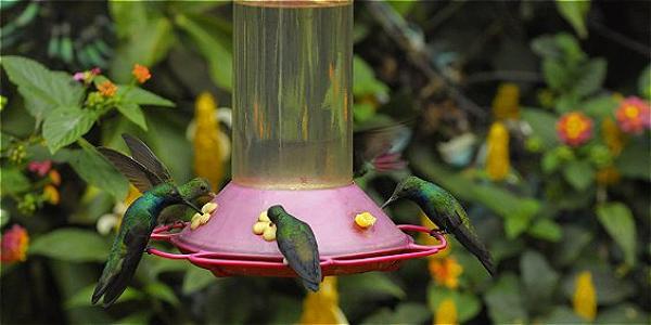 Cada día se reúnen unos 500 colibríes de 27 especies distintas en este jardín.