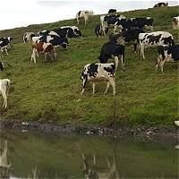 Recuperación del río Bogotá, en riesgo por presencia de ganado