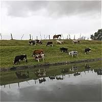 Van 58 procesos sancionatorios por pastoreo de ganado en Cundinamarca
