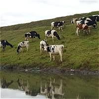 Los dueños del ganado señalado de destruir y beber del río Bogotá