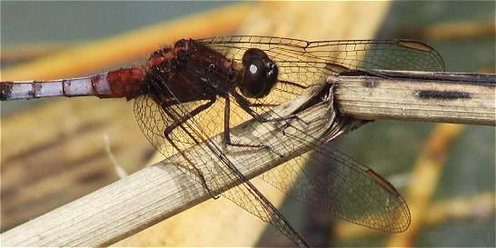 Estudian a las libélulas bogotanas con fotos