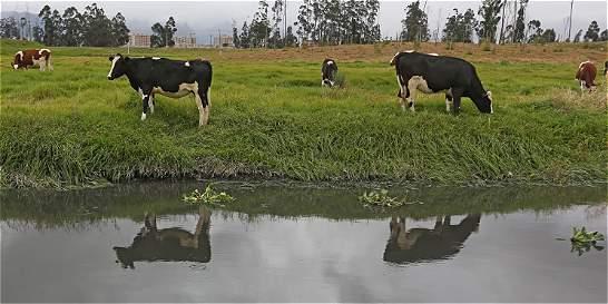 Expira plazo a dueños de vacas que invaden el río Bogotá