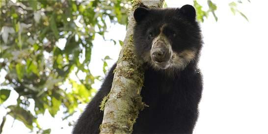 Matan a un oso de anteojos en páramo de Boyacá