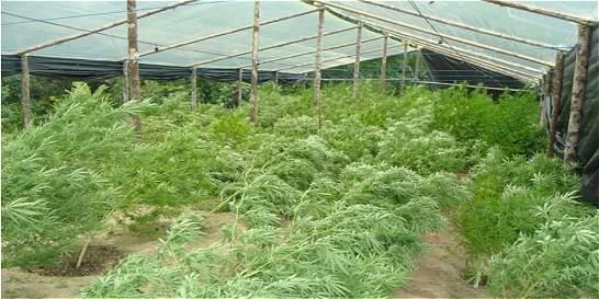 Boyacá le apuesta a producir marihuana medicinal
