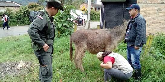 Capturada mujer por maltrato a un asno en Garagoa