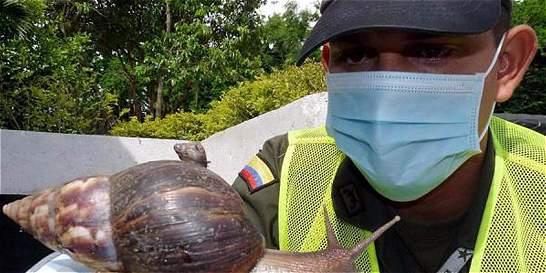 Alertan sobre el caracol africano