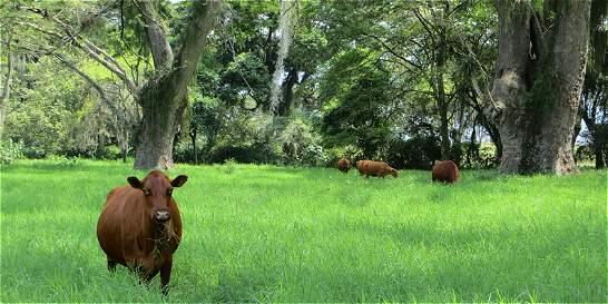 Cali, sede de la Agenda global para ganadería sostenible