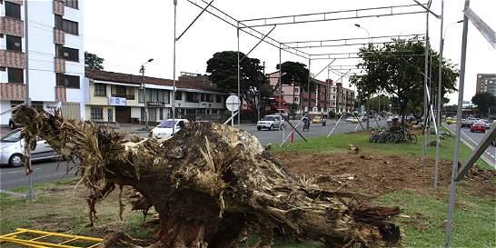 Retiran raíces de cuatro árboles gigantes en sur de Cali