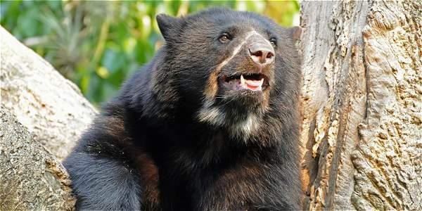El oso andino se encuentra, además del Parque Doña Juana, en zona de Ipiales, Córdoba y Puerres, así como en los alrededores del cerro Patascoy.