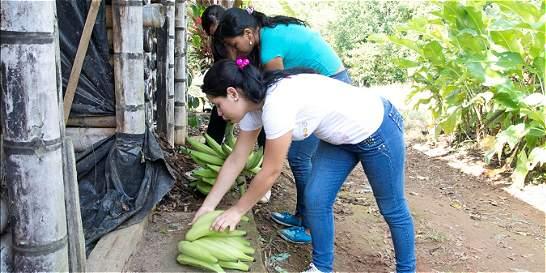 Jóvenes ofrecen fertilizante orgánico a base de residuos del plátano