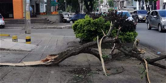 Ya van 214 emergencias por árboles caídos en Cali
