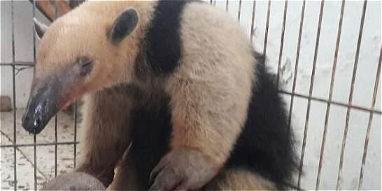 Policía de Cauca rescata un oso hormiguero atacado por perros en finca