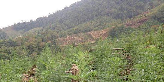 Planta de cannabis del Cauca cuesta tres millones de dólares