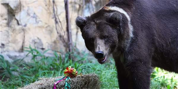 Los últimos días de Stap, el oso más querido del Zoológico de Cali