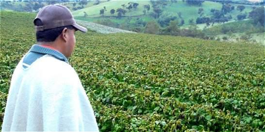 Heladas acaban con 350 hectáreas de cultivos de papa en el Cauca
