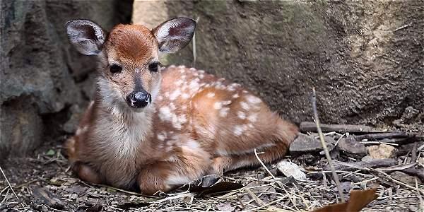 El venado recién nacido es llamado cariñosamente por los visitantes del zoológico de Cali como 'Bambi'