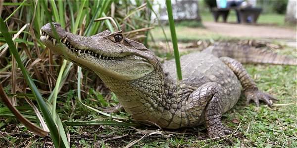 Se estima que en el lago hay alrededor de 3 de estos reptiles
