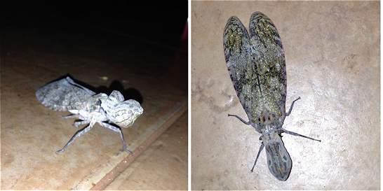 La machaca, el insecto que todavía causa temor en el sur del país