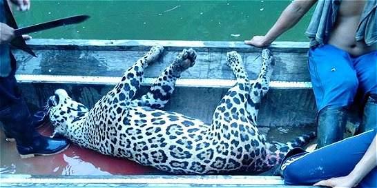 En Chocó investigan la muerte de un jaguar