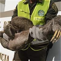 Agreden con piedras a un oso perezoso en Antioquia