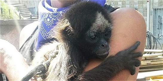 Rescatan Mono en vía de extinción que era utilizado en un circo