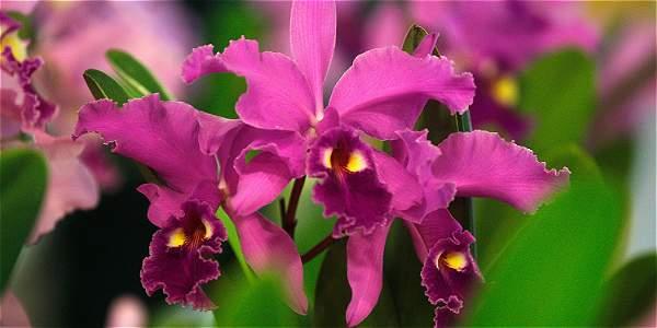 En el mundo hay cerca de 40.000 especies de orquídeas. De estas, Colombia posee