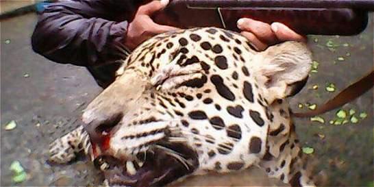 Investigan denuncia sobre caza de jaguar en Puerto Berrío, Antioquia