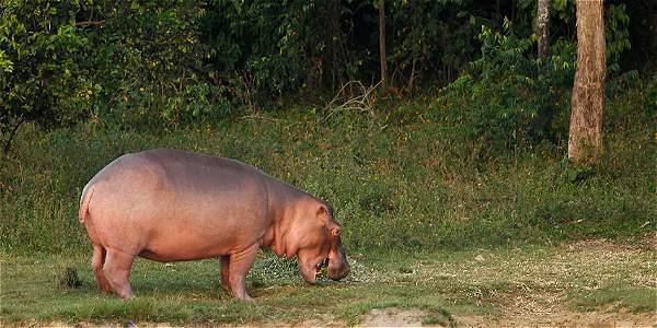 El desafio de esterilizar los hipopotamos de Pablo Escobar - BBC Mundo