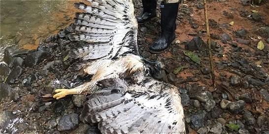 Cazadores matan a águila arpía en reserva natural del Chocó