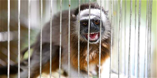 La mayoría de la fauna traficada está en algún grado de amenaza