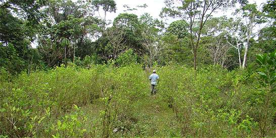 En un 100 por ciento aumentaron cultivos de coca en el Catatumbo