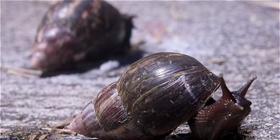 Alerta por aumento de caracol africano en Dosquebradas