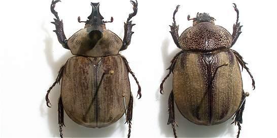 Certifican hallazgo de nueva especie de escarabajo en Santurbán