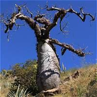 Ceibas barrigonas del Chicamocha, en riesgo por sequía extrema