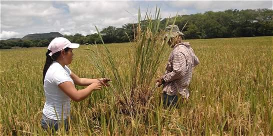 Sequía amenaza cosechas de arroz en Tolima y Huila