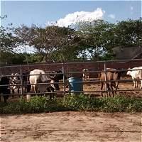 El calvario que vive un colombiano que salió con sus 11 vacas de Venezuela