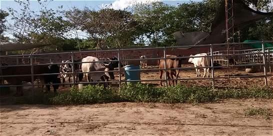 El calvario que vive un colombiano que salió con 11 vacas de Venezuela