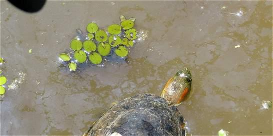 Alerta por consumo de huevos de iguana y carne de tortuga hicotea