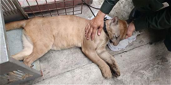 Familia en Santander tenía como mascota a un puma
