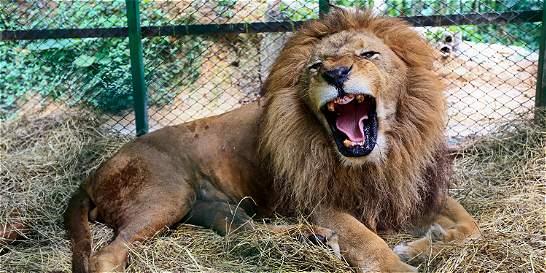 Hoy serán trasladados a Sudáfrica nueve leones incautados a un circo