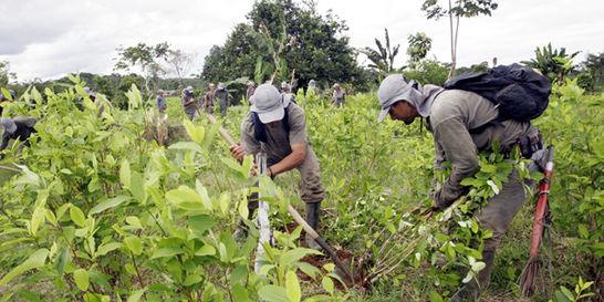 Aumento de coca tiene al Catatumbo en una encrucijada