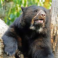 Duro cruce de trinos revivió campaña para proteger al oso de anteojos