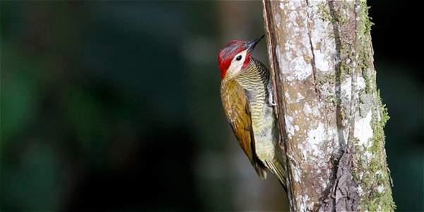 Avistamiento de aves en Manizales