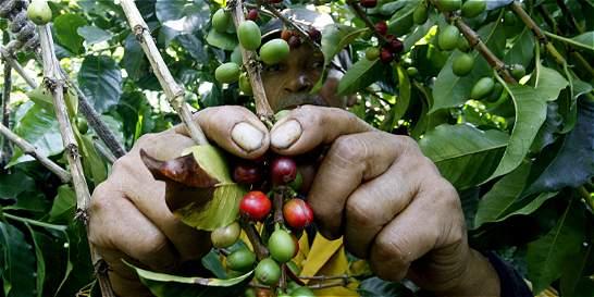 Planadas, Tolima, recibe la paz sembrando café