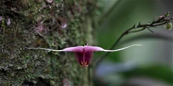 orquídea miniatura