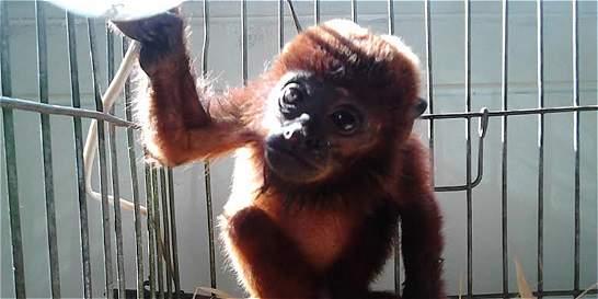 Rescatan bebé de mono aullador en zona rural de Quindío