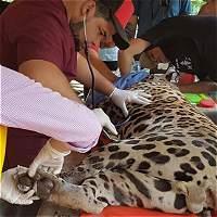 Por lesiones se aplazó la liberación de jaguar atrapado en Santander