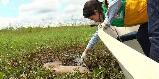 Emiten SOS por muerte de manatís en ciénaga de Barrancabermeja