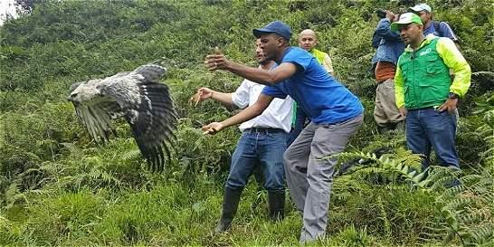 Con implante de plumas, Águila volvió a volar los cielos del Huila