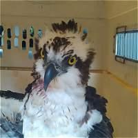 Sacrifican a un águila pescadora ante daños producidos por perdigones